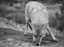 Coyote Canis latrans Yellowstone National Park Black and White. Coyote Canis latrans In Yellowstone National Park Black and White Stock Image