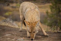 Coyote Canis latrans Yellowstone National Park. In Color Royalty Free Stock Images