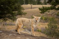 Coyote Canis latrans In Yellowstone National Park. With Landscape Background Stock Photo