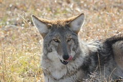 Coyote (Canis latrans) Royalty Free Stock Images