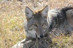 Coyote (Canis latrans) Stock Photo