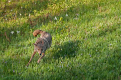 Coyote (Canis latras) Runs in Field Royalty Free Stock Photos