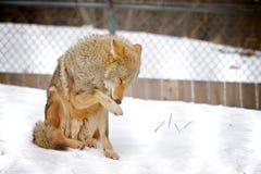 Coyote captif Images libres de droits