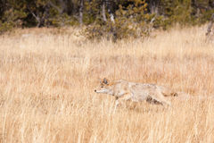 Coyote chasing grasshopper in field of golden yellow grasses Royalty Free Stock Photos