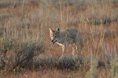 Coyote che cammina nell'erba Immagine Stock Libera da Diritti