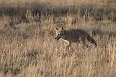 Coyote che cammina nell'erba Fotografie Stock Libere da Diritti