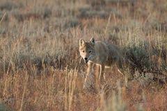 Coyote che cammina nell'erba Fotografia Stock
