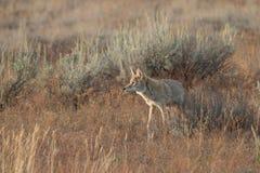 Coyote che cammina nell'erba Fotografie Stock