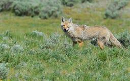 Coyote che cerca alimento nel parco nazionale di Yellowstone Fotografia Stock Libera da Diritti