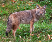 Coyote che esamina la macchina fotografica Fotografie Stock Libere da Diritti