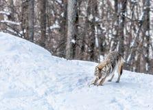 Coyote che fa allungamento o Pilates di mattina? Immagini Stock
