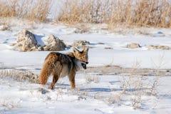 Coyote che mangia topo Fotografie Stock Libere da Diritti