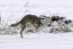 Coyote che piomba nella neve immagini stock libere da diritti