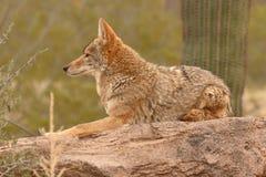 Coyote che riposa sulla roccia del deserto Fotografia Stock Libera da Diritti