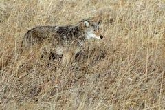 Coyote che si mescola dentro Immagine Stock