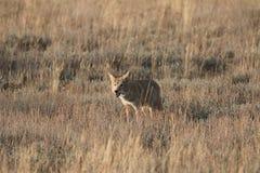 Coyote che sta nell'erba Fotografia Stock Libera da Diritti