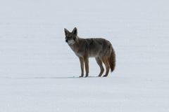 Coyote che sta sulla neve Immagine Stock