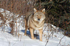 Coyote che sta in un campo nevoso Fotografia Stock