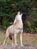 Coyote che urla Immagini Stock Libere da Diritti