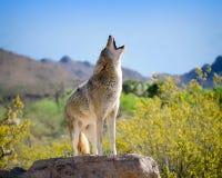 Coyote che urla nel sud-ovest americano Fotografia Stock Libera da Diritti