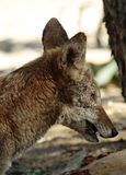 Coyote. Close Up Detail Portrait of American Jackal Stock Photography