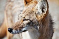 Coyote. Closeup stock photography