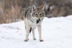 Coyote con el campañol (ratón) Fotografía de archivo libre de regalías