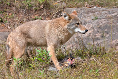 Coyote con l'uccisione del fagiano immagine stock