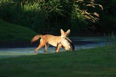 Coyote con la preda Immagini Stock Libere da Diritti