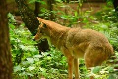 Coyote con uno sguardo intenso immagini stock libere da diritti