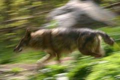 Coyote corrente Fotografia Stock Libera da Diritti