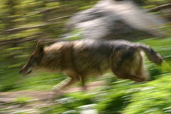 Coyote courant Photographie stock libre de droits