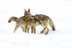 Coyote Courtship Royalty Free Stock Photography