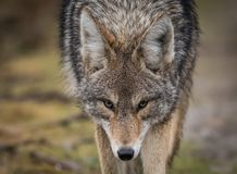 Coyote. A Coyote in western Canada royalty free stock photos