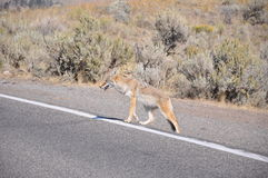 Coyote crossing royalty free stock photography
