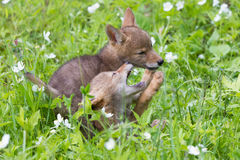 Coyote cubs playing around Stock Photos