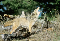 Coyote d'hurlement Photos libres de droits