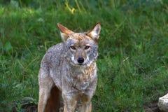 Coyote dans l'herbe photo libre de droits