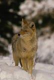 Coyote dans la neige Photos stock
