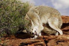 Coyote dans la position docile photos stock