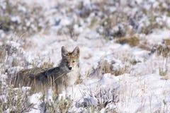 Coyote dans le balai Image stock