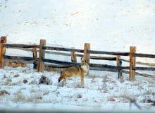 Coyote dans le Colorado image libre de droits