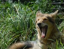 coyote dans le westport mA de champ images stock
