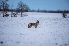 Coyote dans les domaines de prairie pendant l'hiver Images libres de droits