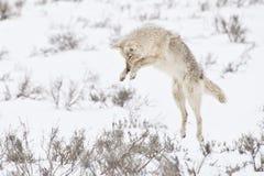 Coyote de ataque repentino imágenes de archivo libres de regalías