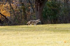 Coyote in de herfst Seizoen royalty-vrije stock fotografie