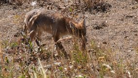 Coyote de Jacht stock footage