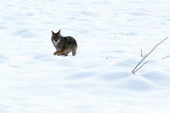 Coyote de jacht in de sneeuw Royalty-vrije Stock Foto's