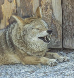 coyote de koyot Photographie stock