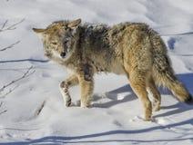 Coyote in de Sneeuw Stock Foto